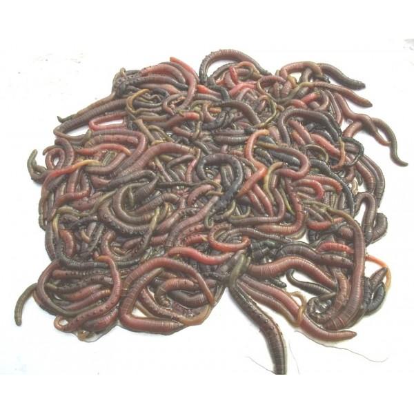 Special Offer 3 Blacklug and 1/2 KG Ragworm